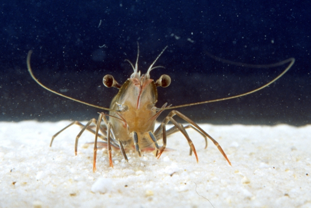 Image of prawn